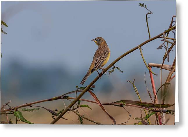 Winter Migrants Greeting Cards - Lonely Bird Black headed Bunting Greeting Card by Srijan Roy Choudhury