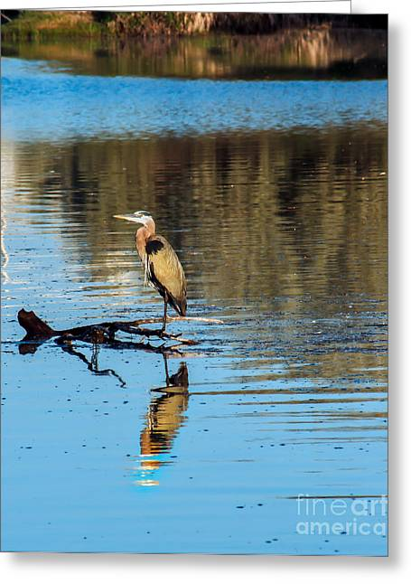Herodias Greeting Cards - Lonely Great Blue Heron Greeting Card by Robert Bales