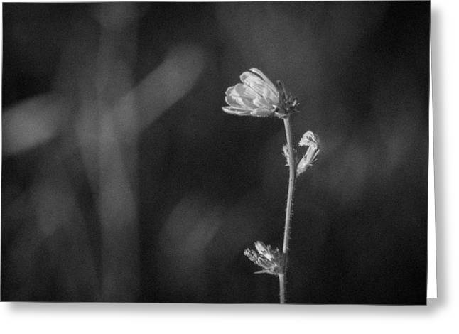 Wisconsin Wildflowers Greeting Cards - Lonely One Greeting Card by Bill Pevlor