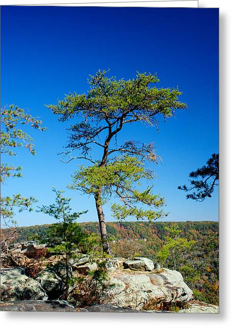 Lone Pine Greeting Cards - Lonesome Pine Greeting Card by Douglas Barnett