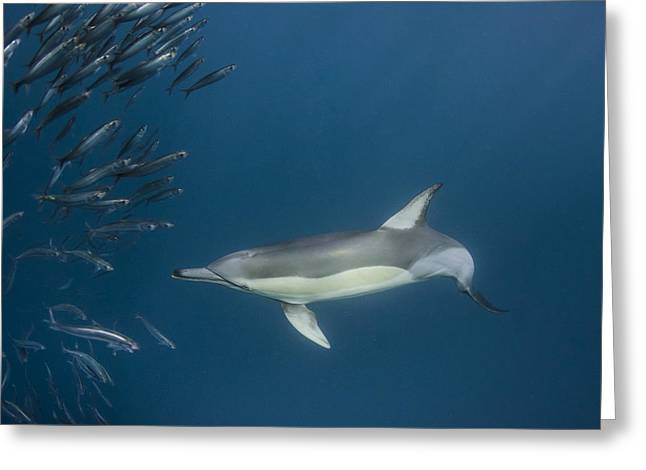 Predating Greeting Cards - Long-beaked Common Dolphin Hunting Greeting Card by Pete Oxford