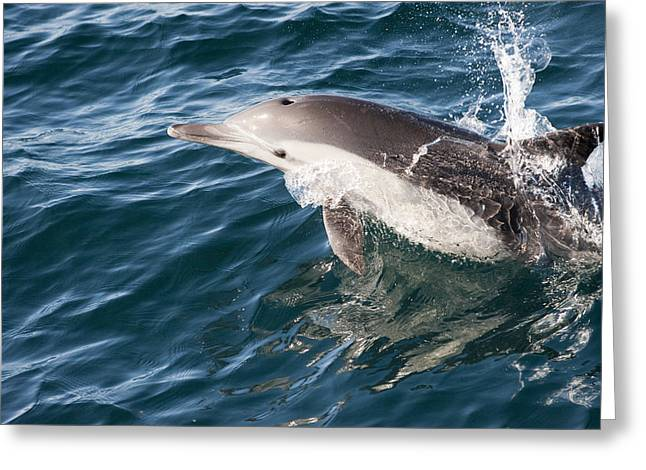 Side Saddle Greeting Cards - Long-beaked Common Dolphin Porpoising Greeting Card by Flip Nicklin