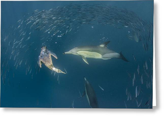 School Of Sardine Greeting Cards - Long-beaked Common Dolphins And Cape Greeting Card by Pete Oxford