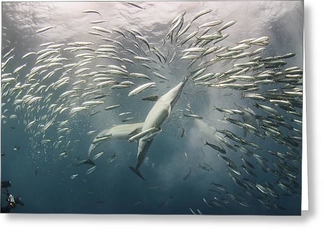 Fishing Enthusiast Greeting Cards - Long-beaked Common Dolphins Hunting Greeting Card by Pete Oxford