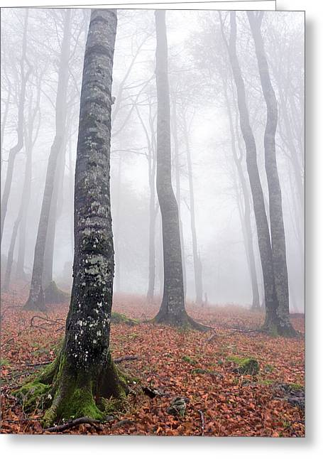 Long Leaves Greeting Cards - Long Beech Tree Trunks In Autumn Greeting Card by Mikel Martinez de Osaba