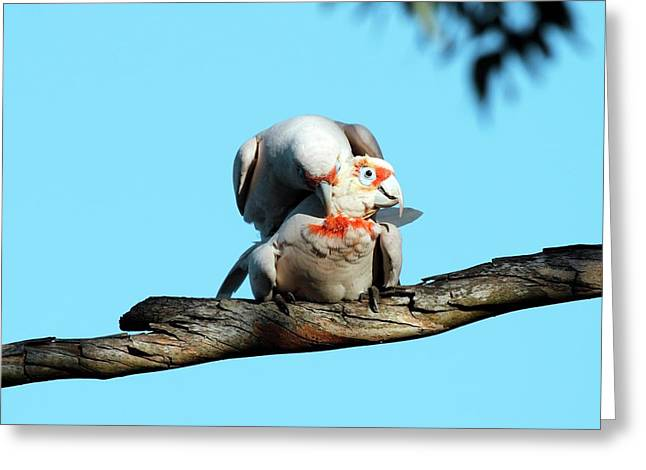 Long-billed Corellas Greeting Card by Gerry Pearce