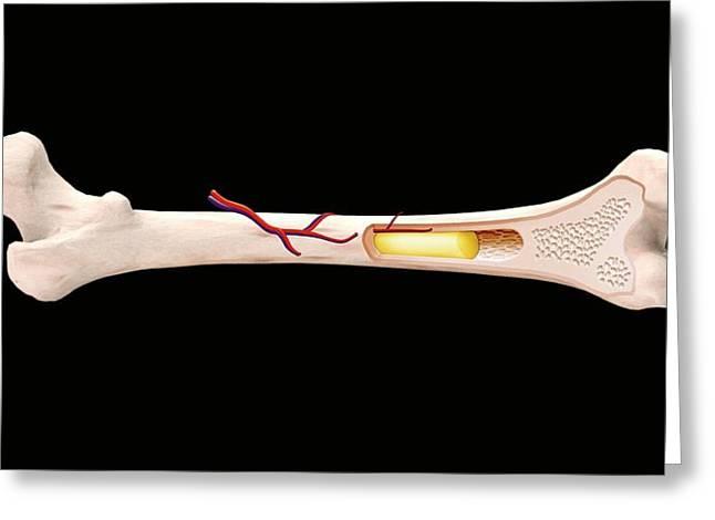 Long Bone Structure Greeting Card by Mikkel Juul Jensen