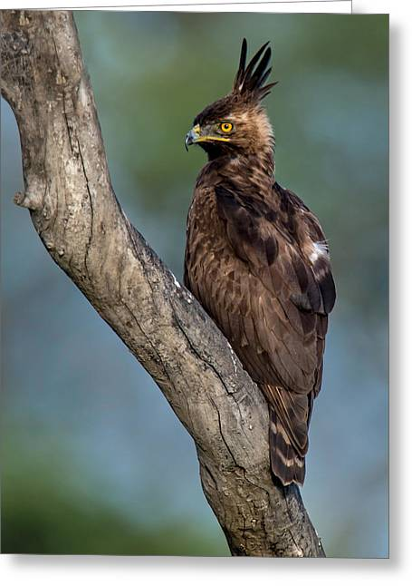 Bird On Tree Greeting Cards - Long-crested Eagle Lophaetus Greeting Card by Panoramic Images