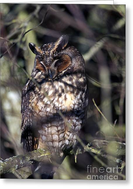 Tufted Ears Greeting Cards - Long Eared Owl in the Shadows Greeting Card by Sharon  Talson