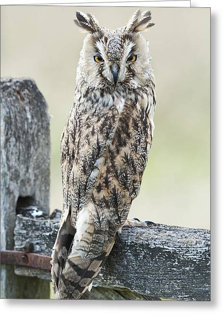 Strigidae Greeting Cards - Long Eared Owl Greeting Card by Tim Gainey