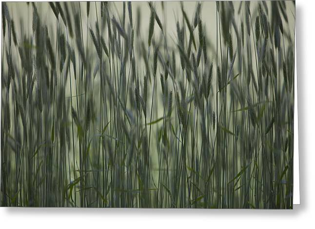 Descriptors Greeting Cards - Long Grass In Farm Field Greeting Card by Ron Bouwhuis