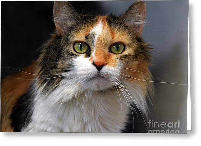 Catherine White Greeting Cards - Long Haired Calico Cat Greeting Card by Catherine Sherman