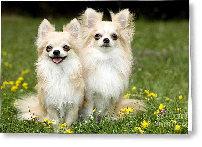 Toy Dog Greeting Cards - Long-haired Chihuahuas Greeting Card by Jean-Michel Labat