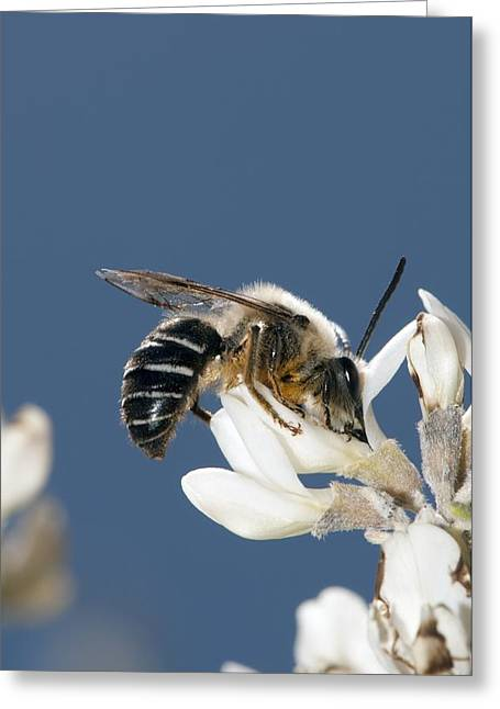 Eating Entomology Greeting Cards - Long-horned bee feeding on broom flowers Greeting Card by Science Photo Library