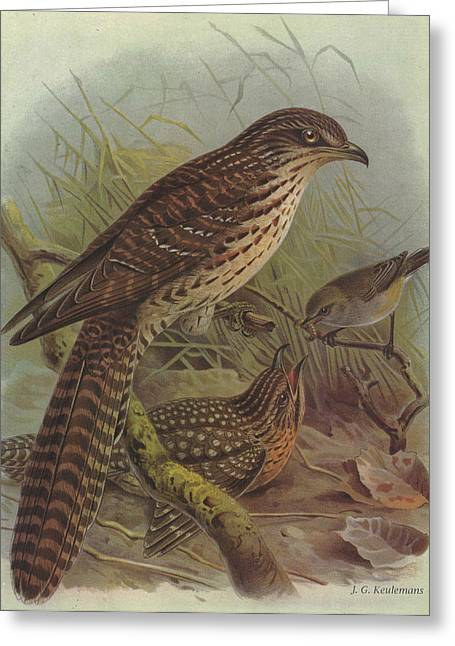 Warbler Greeting Cards - Long Tailed Cuckoo and Grey Warbler Greeting Card by J G Keulemans