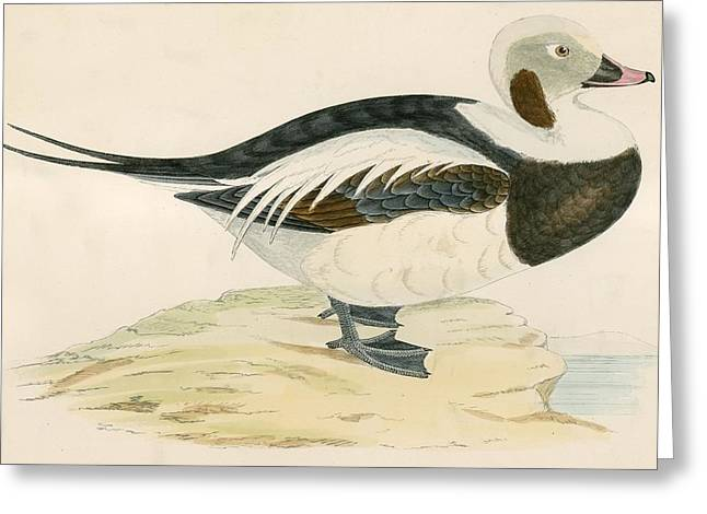 Hunting Bird Photographs Greeting Cards - Long Tailed Duck Greeting Card by Beverley R. Morris