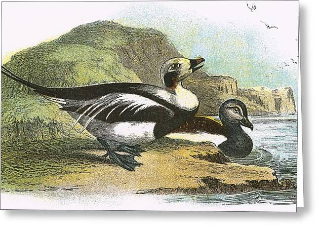 Long Tail Greeting Cards - Long Tailed Duck Greeting Card by English School