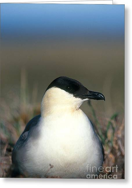 Long Tail Greeting Cards - Long-tailed Jaeger Greeting Card by William H. Mullins