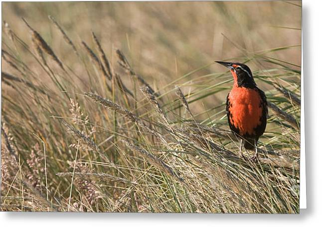Long-tailed Meadowlark Greeting Card by John Shaw