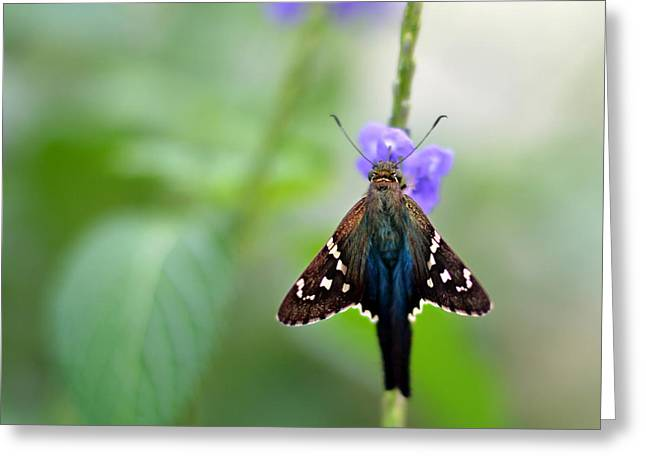Long Tailed Skipper Greeting Card by Laura Fasulo