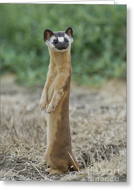 Long-tailed Weasel Greeting Card by Anthony Mercieca