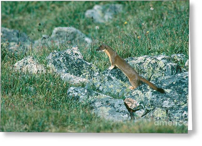 Long Tail Greeting Cards - Long-tailed Weasel Greeting Card by Gregory G. Dimijian, M.D.