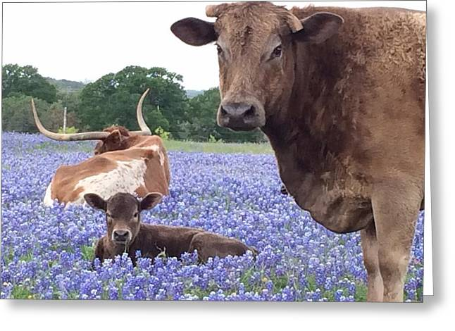 Texas Longhorn In Bluebonnets Greeting Cards - Longhorn and bay Cow resting in Bluebonnets Greeting Card by Colleen Dyer