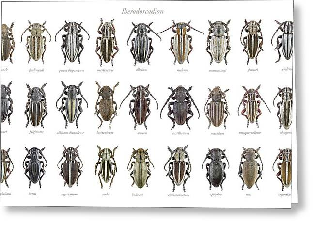 Longhorn Beetles Greeting Card by F. Martinez Clavel