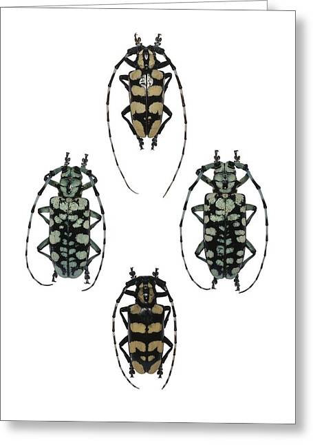 Quartet Greeting Cards - Longhorn beetles Greeting Card by Science Photo Library