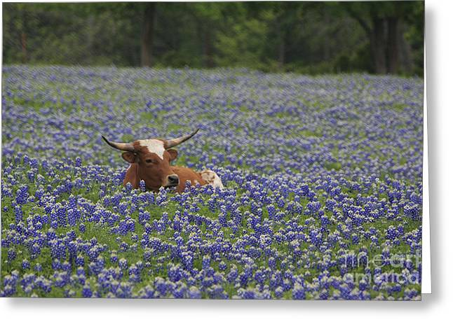 Longhorn In Bluebonnets Greeting Card by Jerry Bunger