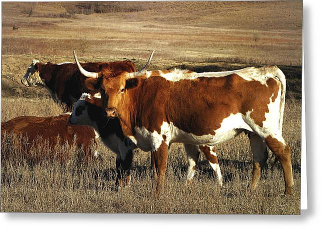 Winter Scenes Rural Scenes Greeting Cards - Longhorn in Winter Pasture Greeting Card by Ann Powell