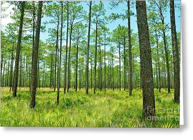 Pinus Greeting Cards - Longleaf Pine Forest Pinus Palustris Greeting Card by John Serrao