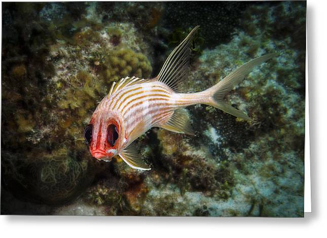 Underwater Photos Greeting Cards - Longspine Squirrelfish portrait Greeting Card by Jean Noren