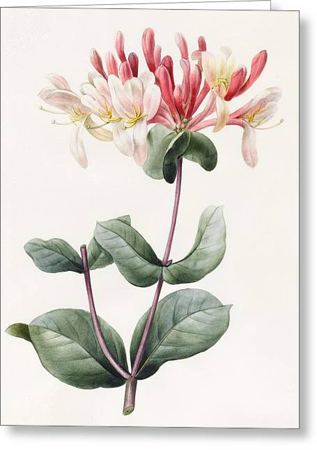 Green Leafs Drawings Greeting Cards - Lonicera Periclymenum  Greeting Card by Louise D Orleans