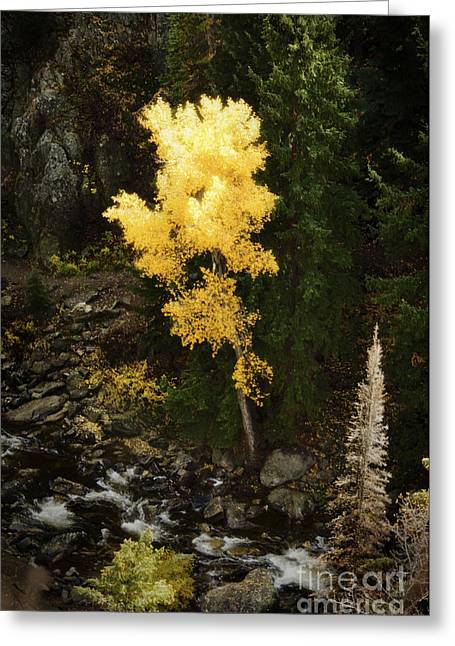 Aspens In Fall Greeting Cards - Lonly Aspen Greeting Card by Jim  Calarese