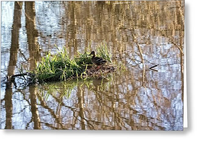 Lonly Greeting Cards - lonly island - Female mallard duck on a floating island Greeting Card by Leif Sohlman