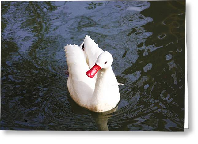 Swans... Greeting Cards - Look at Me Greeting Card by Jeff Tuten