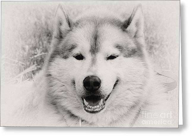 Husky Greeting Cards - Look at That Face Greeting Card by Gena Weiser
