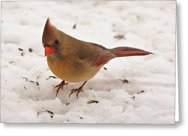 Red Bird In Snow Greeting Cards - Look at You Greeting Card by Sandy Keeton
