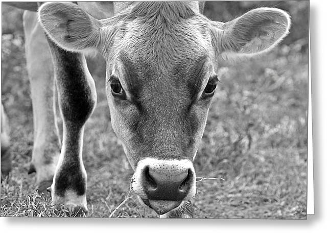 Dairy Farmers And Farming Greeting Cards - Look Into My Eyes - Jersey Cow BW Greeting Card by Gill Billington
