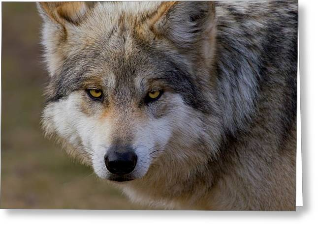 Wolf Head Greeting Cards - Look Into My Eyes Greeting Card by John Absher