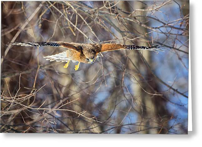 Red Shouldered Hawk Greeting Cards - Look Out Below Greeting Card by Bill  Wakeley
