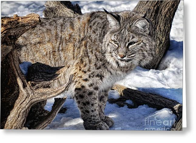 Bobcats Greeting Cards - Looking Around Greeting Card by Claudia Kuhn