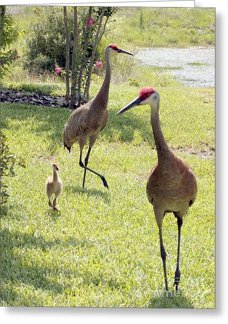 Sandhill Crane Greeting Cards - Looking for a Handout Greeting Card by Carol Groenen