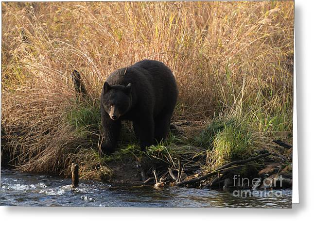 Black Bear Greeting Cards - Looking for a Meal Greeting Card by Mike  Dawson