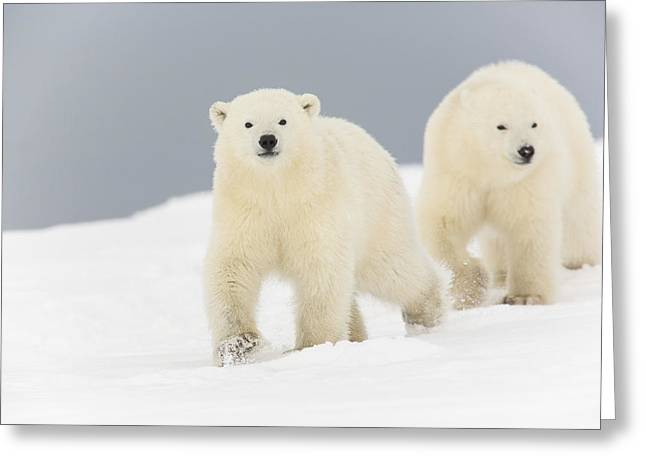 Polar Bear Standing Greeting Cards - Looking for Fun Greeting Card by Tim Grams