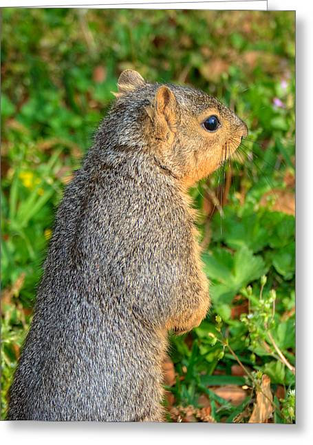 Fox Squirrel Greeting Cards - Looking For my Fellow Squirrels Greeting Card by Ester  Rogers