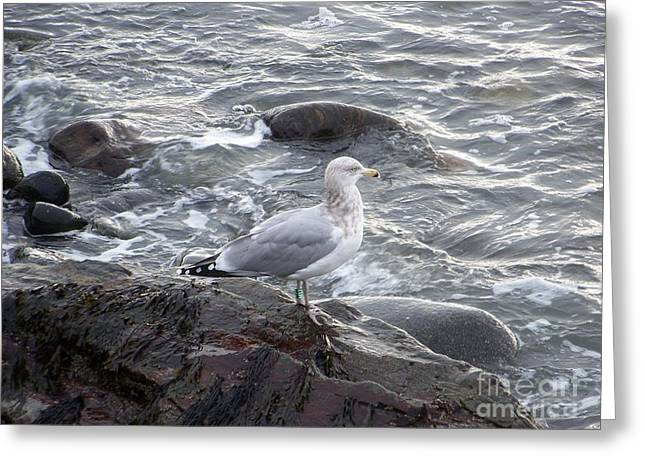 Lone Gull Greeting Cards - Looking Out To sea Greeting Card by Eunice Miller