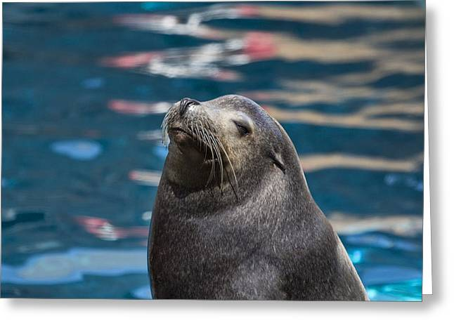 California Sea Lions Greeting Cards - Looking Up Greeting Card by Douglas Barnard