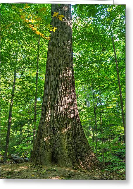 Rochester Artist Greeting Cards - Looking up- Tree Greeting Card by Tim Buisman